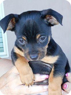 Chihuahua/Pug Mix Puppy for adoption in Hurricane, Utah - Harley