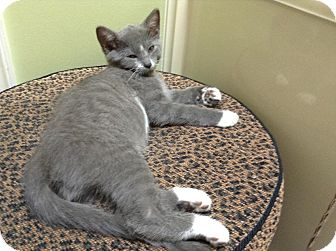 Domestic Shorthair Kitten for adoption in Homewood, Alabama - Fred H.