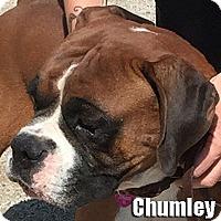 Boxer Dog for adoption in Encino, California - Chumley