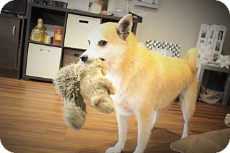 Shiba Inu Dog for adoption in Manassas, Virginia - Naoki