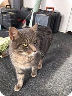 Domestic Shorthair Cat for adoption in Carlisle, Pennsylvania - SmokeyCP