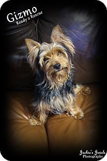 Yorkie, Yorkshire Terrier Dog for adoption in Rockwall, Texas - Gizmo