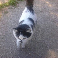 Domestic Mediumhair Cat for adoption in Lancaster, California - Diva