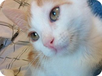 Domestic Shorthair Kitten for adoption in Enid, Oklahoma - Buttercup