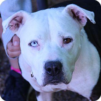 Pit Bull Terrier Mix Dog for adoption in O Fallon, Illinois - Prada