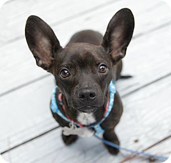 Boston Terrier/Dachshund Mix Puppy for adoption in Courtland, Alabama - Noble