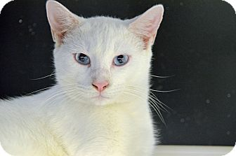 Domestic Shorthair Cat for adoption in Brooksville, Florida - TOBIAS