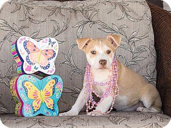 Labrador Retriever/Australian Cattle Dog Mix Puppy for adoption in Chandler, Arizona - Serrano