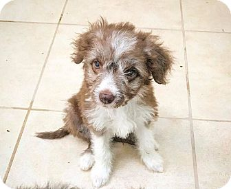 Poodle (Miniature) Mix Puppy for adoption in Eugene, Oregon - Scout