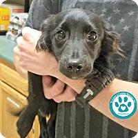 Adopt A Pet :: Dexter - Kimberton, PA