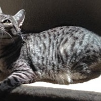 Domestic Shorthair Cat for adoption in Cypress, Texas - Sassy (DH)