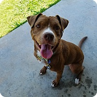 Pit Bull Terrier Mix Dog for adoption in Norman, Oklahoma - Ruger