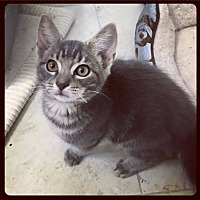 Adopt A Pet :: Greedo - Knoxville, TN