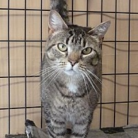 Domestic Shorthair Cat for adoption in Massapequa, New York - Fiona