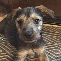 Adopt A Pet :: Alise - Houston, TX