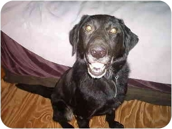 Labrador Retriever/Golden Retriever Mix Dog for adoption in North Jackson, Ohio - Buddy