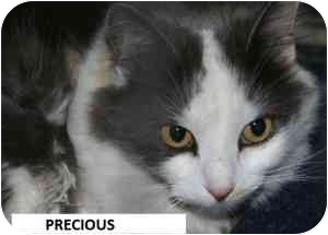 American Shorthair Cat for adoption in Hopkinsville, Kentucky - Precious