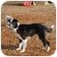 Photo 3 - Border Collie Dog for adoption in Ft. Myers, Florida - Preston