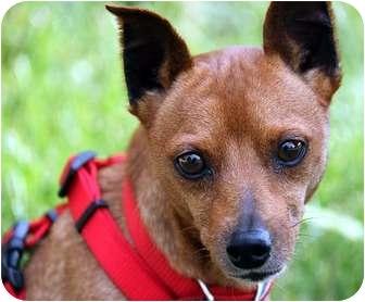 Miniature Pinscher Dog for adoption in Overland Park, Kansas - Froto