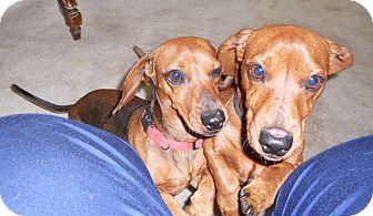 Dachshund Dog for adoption in batlett, Illinois - SHORTY