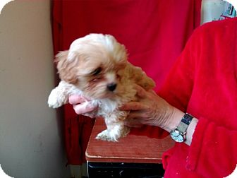 Maltese/Shih Tzu Mix Puppy for adoption in Seattle, Washington - Trinket