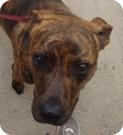 Pit Bull Terrier Mix Dog for adoption in Gainesville, Florida - Mason