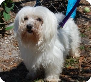 Maltese Mix Dog for adoption in Bradenton, Florida - Opal