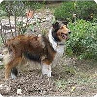 Adopt A Pet :: Lassie - Trabuco Canyon, CA