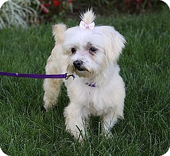 Maltese/Yorkie, Yorkshire Terrier Mix Dog for adoption in Newport Beach, California - KATIE
