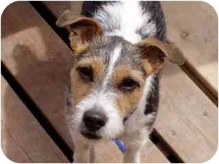 Jack Russell Terrier Dog for adoption in Roundup, Montana - Tippie