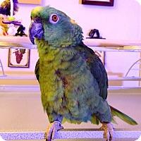 Adopt A Pet :: Polly - Lenexa, KS