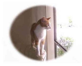 Domestic Shorthair Cat for adoption in Yorba Linda, California - Beatrice
