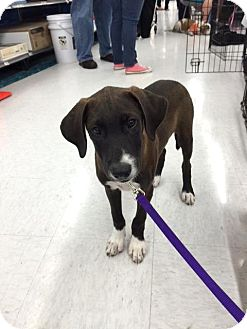 Labrador Retriever Mix Puppy for adoption in Sterling Heights, Michigan - Channell