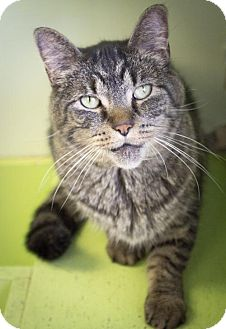 Domestic Shorthair Cat for adoption in Indianapolis, Indiana - Seamus