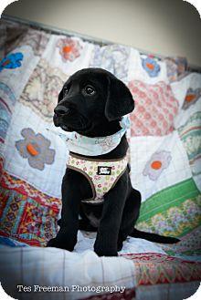 Labrador Retriever Mix Puppy for adoption in Muldrow, Oklahoma - Michael