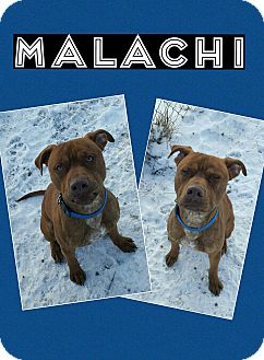 Pit Bull Terrier Mix Puppy for adoption in Bryan, Ohio - Malachi