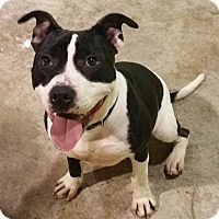 Adopt A Pet :: Capone - Lima, OH