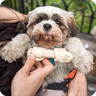 Shih Tzu Dog for adoption in New York, New York - Bea