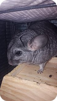 Chinchilla for adoption in Patchogue, New York - Flora