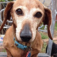 Dachshund Dog for adoption in Pearland, Texas - Rosie