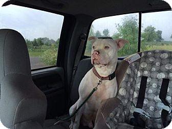 Pit Bull Terrier Mix Dog for adoption in Laingsburg, Michigan - Sinatara