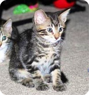 Domestic Shorthair Kitten for adoption in Castro Valley, California - Jimmy