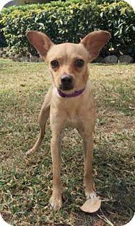 Chihuahua/Pug Mix Puppy for adoption in Boca Raton, Florida - Nilla