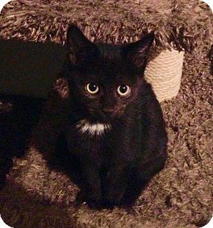 Domestic Shorthair Kitten for adoption in Charlotte, North Carolina - A..  Kera