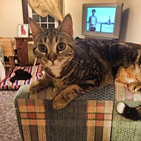 American Shorthair Cat for adoption in Toms River, New Jersey - Lizzy