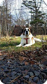 St. Bernard Dog for adoption in Reading, Pennsylvania - Zoe