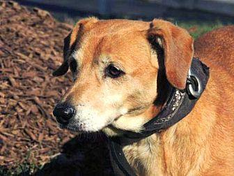 Dachshund Mix Dog for adoption in Washington, D.C. - SANDY