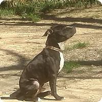 Adopt A Pet :: Dewey Spain  (see video) - Munford, TN