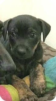 Dachshund Mix Puppy for adoption in New York, New York - Euripides