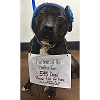 Pit Bull Terrier Mix Dog for adoption in Chico, California - Pretty Girl
